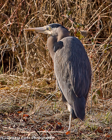 Blue Heron - Anacortes, WA
