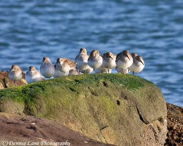 Sea Birds - Anacortes, WA