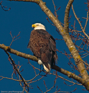 Eagle in the Skagit Valley, WA