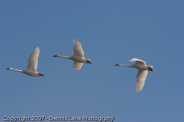 Trumper Swan - Skagit Valley WA -