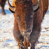 Winter Bison - Stevensville, MT -  file name for ordering listed below