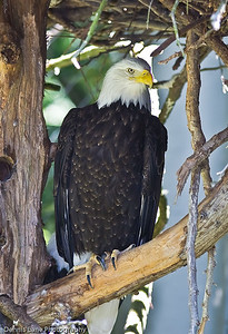 Posing Eagle - Seattle, WA