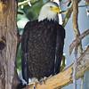 Posing Eagle - Seattle, WA