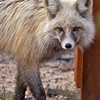 Gray Fox - Cascade, Idaho -Note File name for ordering
