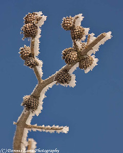 Frozen Pine Cones - Cascade, ID -Note File Name below for ordering