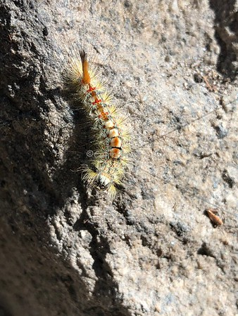 Mountain caterpillar