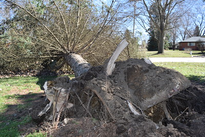 A large tree was uprooted in a Lyon Township yard on Wednesday, March 8, 2017.  (Mark Cavitt/The Oakland Press)