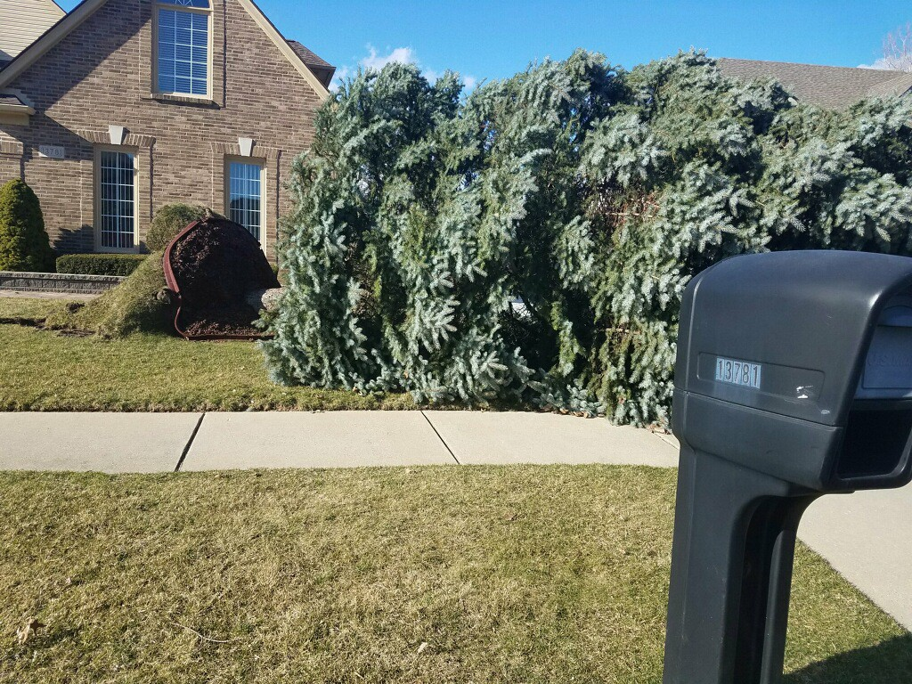 . his fallen evergreen is in the Royal Forest subdivision in Shelby Township, on Hayes Road, south of 24 Mile. Submitted.