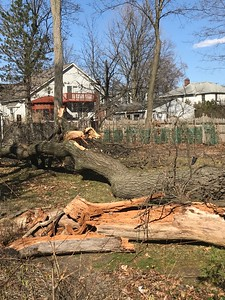 Tree at 1406 Marywood in Royal Oak  was blown down Wednesday and fell into empty lot, with no damage seen. No one home. Photo by Mark Stowers / For Digital First Media.
