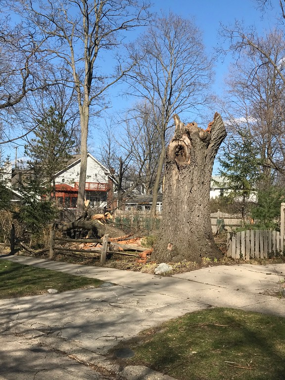 . Tree at 1406 Marywood in Royal Oak  was blown down Wednesday and fell into empty lot, with no damage seen. No one home. Photo by Mark Stowers / For Digital First Media.