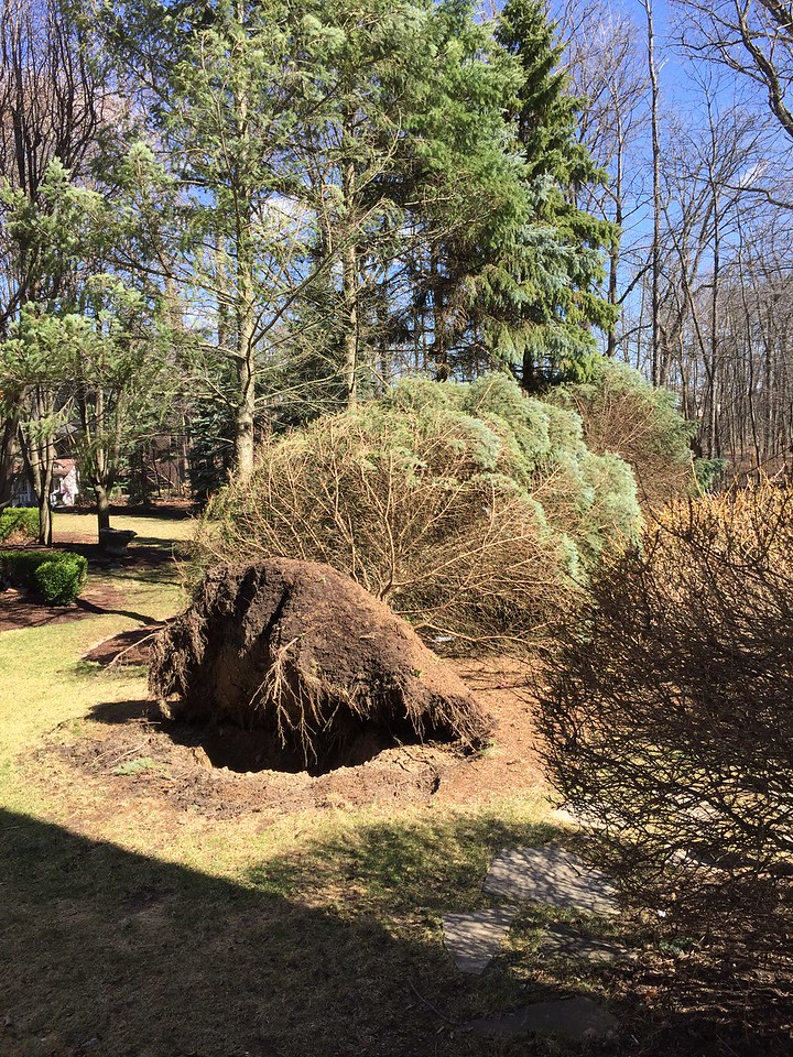 A DTE Energy storm director said on Twitter that the mild winter mixed with the excessive rains played a role in the many trees falling over with the high winds. Stephen Frye / Digital First Media