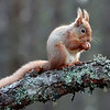 <DIV ALIGN=CENTER><b>03-04-2011 Red squirrel</b> <i>© Marta</a></i></DIV>