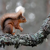 <DIV ALIGN=CENTER><b>03-04-2011 Red squirrel</b> <i>© Felipe</a></i></DIV>