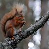<DIV ALIGN=CENTER><b>03-04-2011 Red squirrel</b> <i>© Felipe</a></i></DIV>