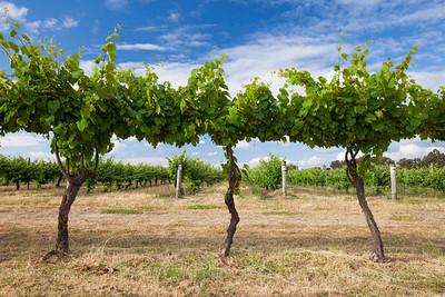 Vineyards in Margaret River, Western Australia.