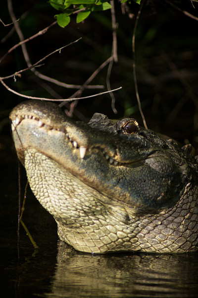 Alligator bellowing his mating call - Shark Valley