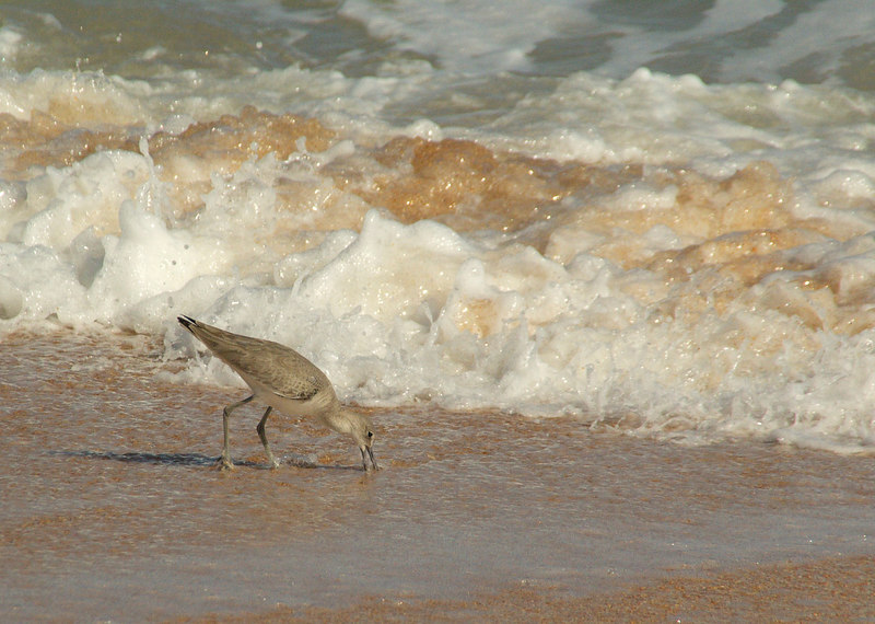 foraging in the surf