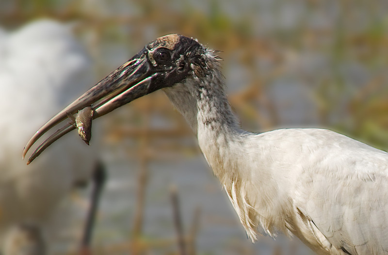wood stork and catfish