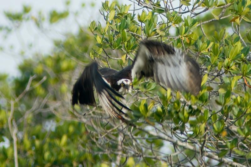 J Ding Darling wildlife preserve - osprey in flight