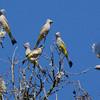 A flock of elegant Gray Silky-flycatchers in Oaxaca, by guide Cory Gregory.