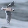 Ross's Gull near Barrow on our 2017 tour,  by guide Tom Johnson.