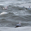 Ross's Gulls near Barrow on our 2017 tour, by guide Tom Johnson.