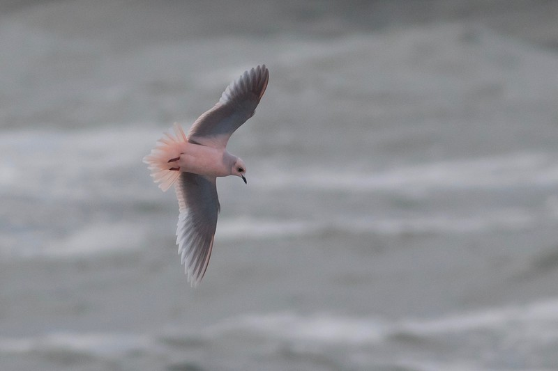 Adult Ross's Gull at Utqiagvik by guide Tom Johnson