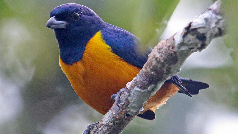 Rufous-bellied Euphonia from the canopy platform, by participant Jerry Oldenettel
