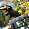 Many-banded Aracari, by guide Mitch Lysinger