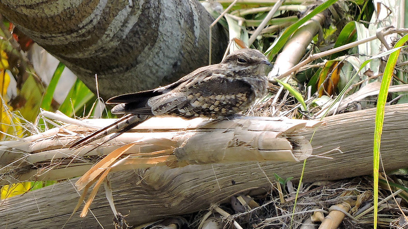 A well-camouflaged Ladder-tailed Nightjar, by guide Willy Perez