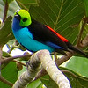 The amazing Paradise Tanager, by participant Nancy Barnhart