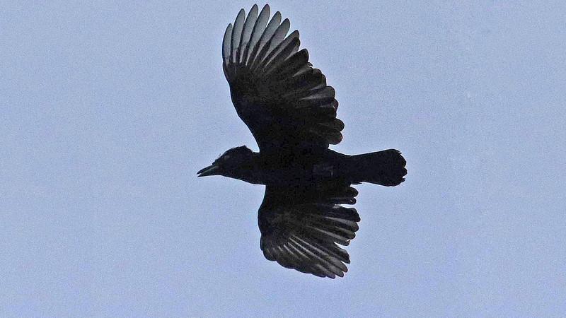 The distinctive profile of Amazonian Umbrellabird, by participant Jerry Oldenettel