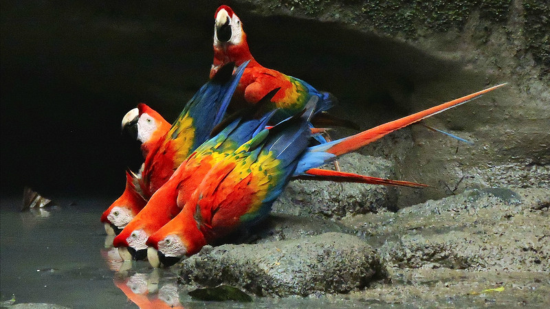Scarlet Macaws at the mineral lick, by guide Willy Perez