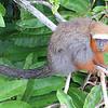 Dusky Titi Monkey, by guide Mitch Lysinger