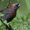 Varied Bunting, by guide Cory Gregory.
