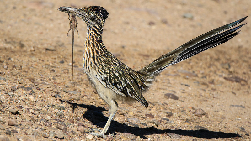 This Greater Roadrunner got its prey! Photo by participant Oleg Gurvits.
