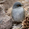 Yellow-eyed Junco, another Southwestern specialty, by guide Joe Suchecki.