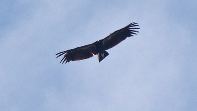 There's no aerial silhouette quite like it in North America: the huge and spectacular California Condor! Photo by guide Cory Gregory