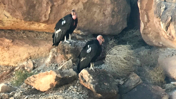 Condors are closely monitored to keep track of the population's health, and all birds are wing-tagged for identification purposes. Photo by guide Cory Gregory.