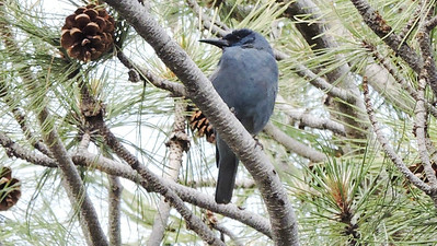 Another target species is Pinyon Jay, this one photographed by participant Rey Larsen on one of our 2016 tours.