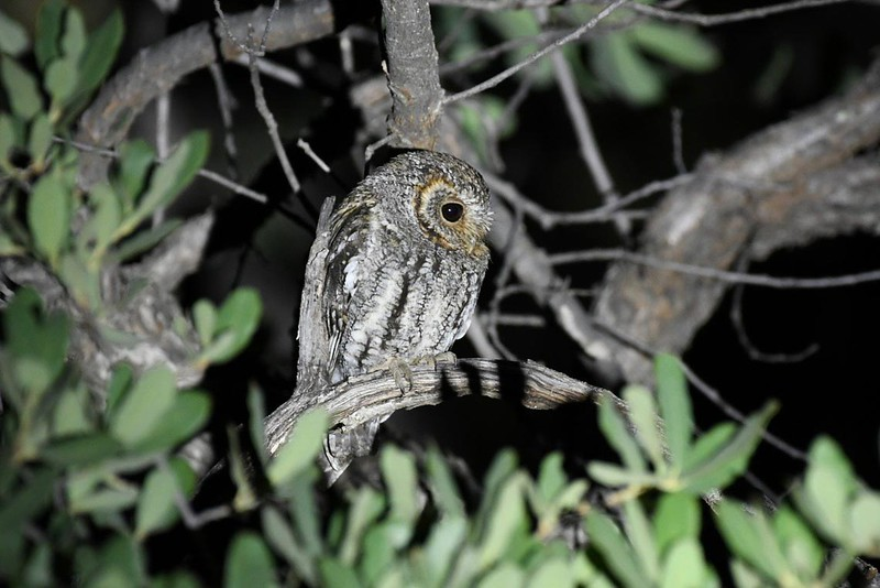 Flammulated Owl by participant Fred Dalbey