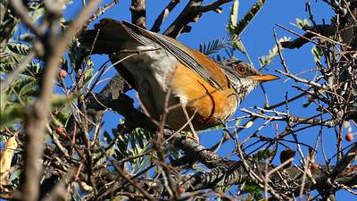 A rare Rufous-backed Robin was a trip highlight for all. Photo by guide Chris Benesh.
