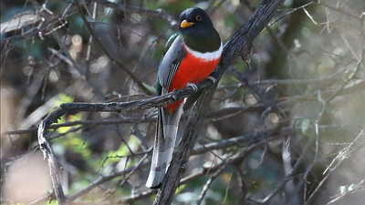 A brilliant flash of color: the ever-lovely Elegant Trogon. Photo by guide Chris Benesh.