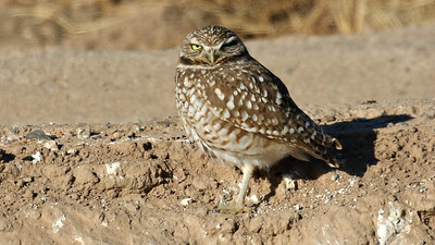 A confiding Burrowing Owl at the Santa Cruz flats, photographed by guide Chris Benesh.