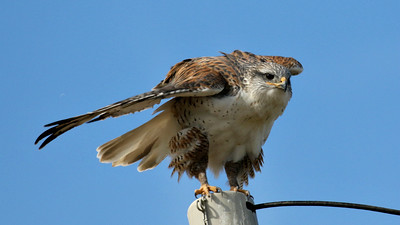 This beautiful Ferruginous Hawk had a keen eye on us. Photo by guide Chris Benesh.