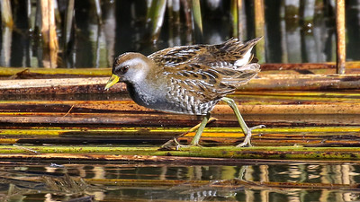 ...to this out-in-the open Sora! Photos by guide Chris Benesh.