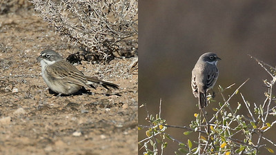 The Sage Sparrow split: Sagebrush at left, Bell's at right. Photo by guide Chris Benesh.