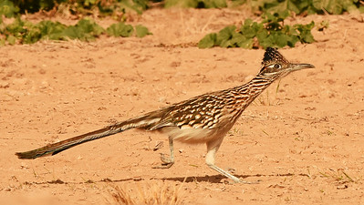 From our 2015 tour: Greater Roadrunner by participant Scott Stoner -- classic Arizona!