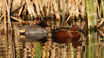 Some wetland stops netted us everything from ducks, such as these Green-winged and Cinnamon Teal...