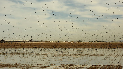 It isn't all dry and desert -- as participant Denise Hackert-Stoner's image of of a huge blackbird flock working a flooded field shows.